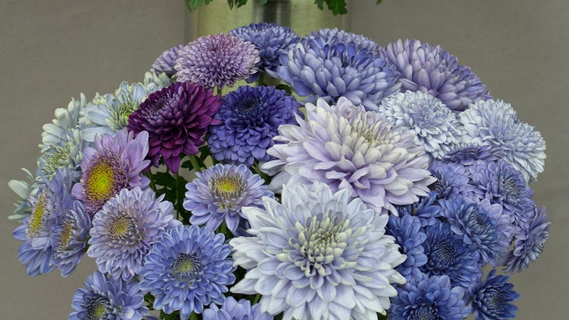 Genetically engineered 'blue' chrysanthemums. Credit: Science Advances