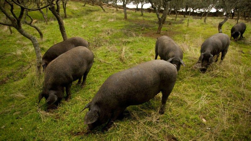 Illustration for article titled España sacrifica por primera vez más cerdos qué personas (actualizado)