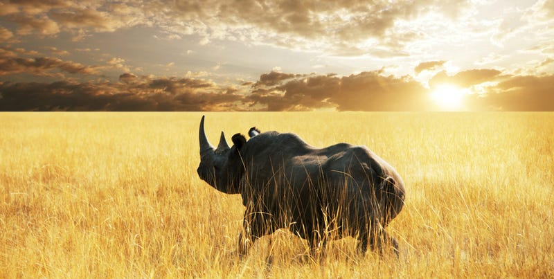 Illustration for article titled Diseñan cuernos sintéticos para salvar al rinoceronte de la extinción