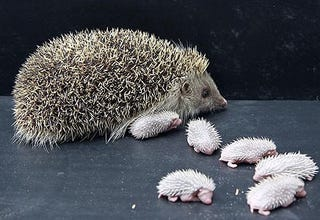 Illustration for article titled Adorable Hedgehog Has Adorable Hedgehog Babies