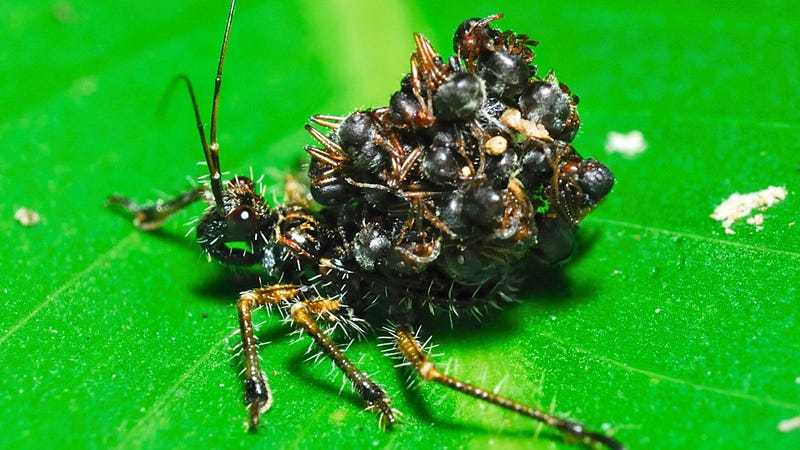 Illustration for article titled Unbelievable Assassin Bug Wears Its Victims' Corpses as Armor