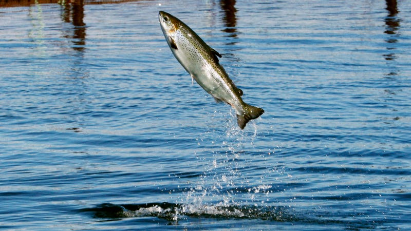 Illustration for article titled The End of Atlantic Salmon Farming in West Coast Waters Is Near