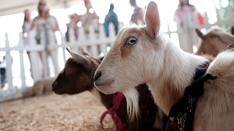 Petting zoos may be chock full of superbugs