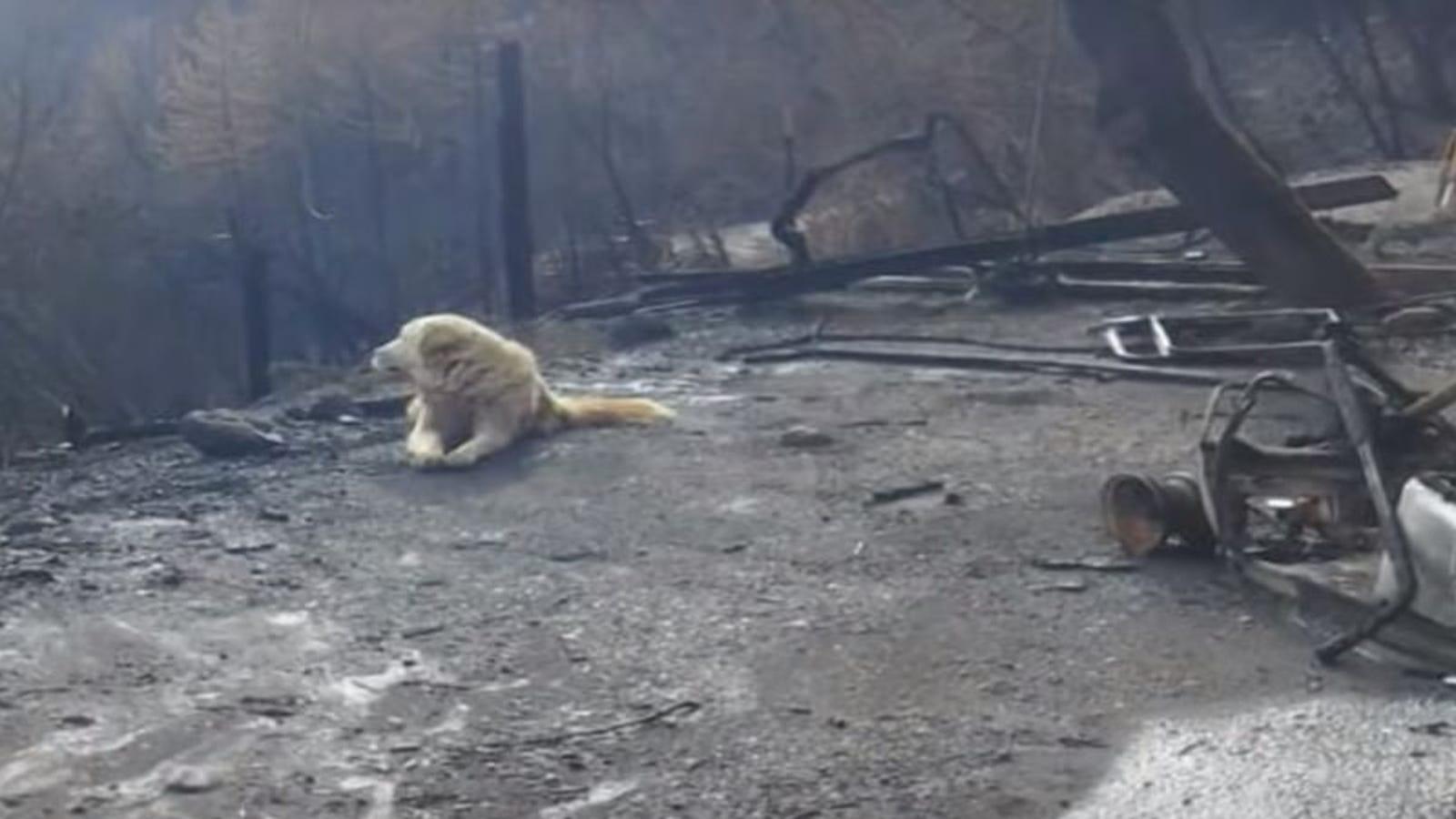Un perro ha esperado un mes el regreso de su dueña entre los restos de su casa tras el letal incendio de California