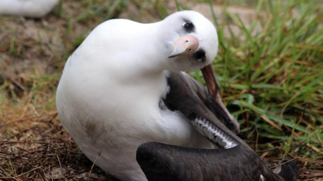 World s Oldest Wild Bird, Now 68, Still Fucks and She Has the Baby to Prove It