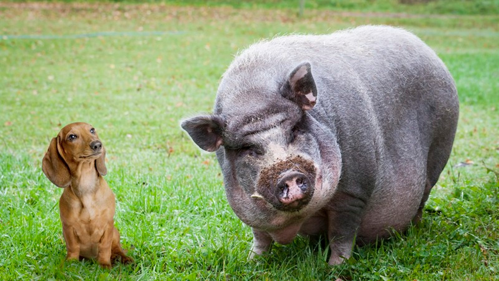 OMG Too Cute: This Weiner Dog And Potbelly Pig That Became