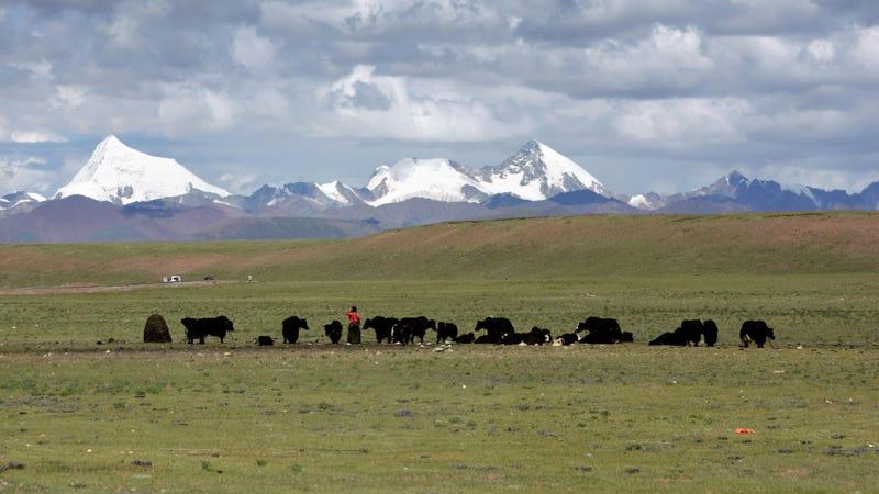 Tibetans graze their yak in the grasslands of the high Tibetan plateau in Tibet.