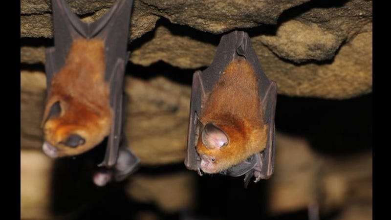 Illustration for article titled Bats Played a Crucial Role in Evolution of Hepatitis Virus