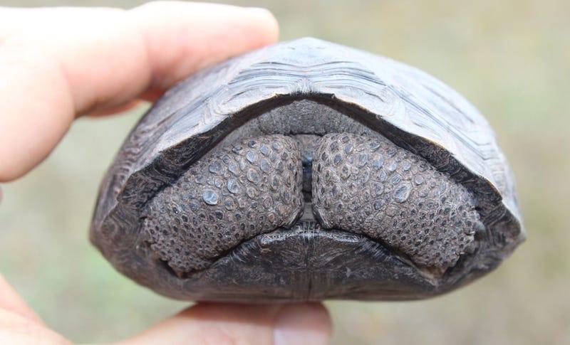 Illustration for article titled Salvan de la extinción a otra especie de tortuga de las Galápagos