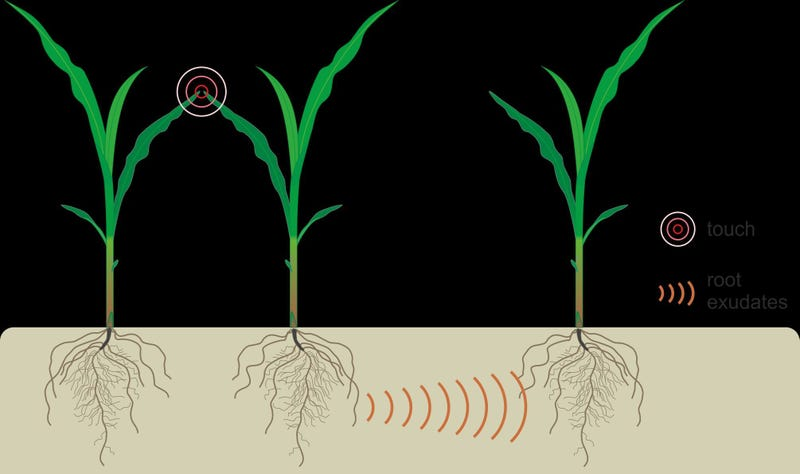 Plants can communicate by sending chemical signals through the soil.