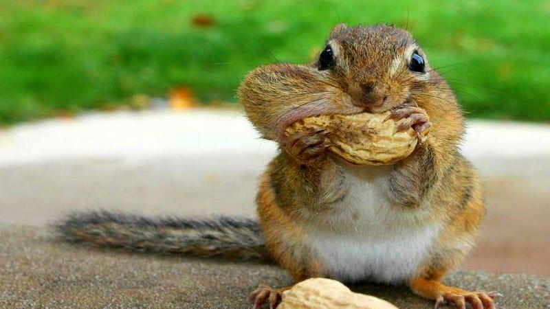 Illustration for article titled Veszélyben a kiscicák cukiságtrónja, jönnek a mókusok lassított felvételen!