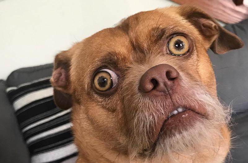 Illustration for article titled Bacon, el perro extremadamente preocupado es el meme viral que necesitábamos