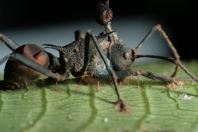 A dead spiny ant with fungal spores erupting out of its head. (Image: David Hughes/Penn State University)