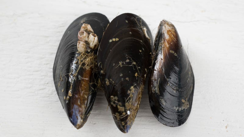 Illustration for article titled Humans piss out so many drugs that Seattle's mussels now test positive for opioids