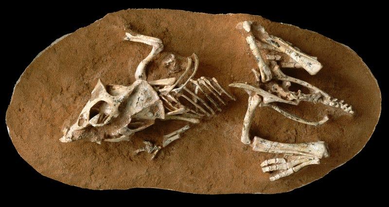 A hatchling Protoceratops andrewsi from the Gobi Desert. Image: AMNH/M. Ellison