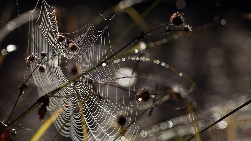 news male black widow spiders twerk date researchers
