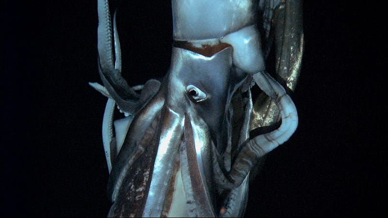 Illustration for article titled Researchers have captured the first-ever video footage of a live giant squid