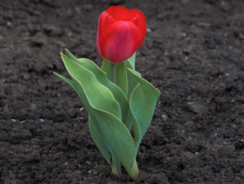Illustration for article titled Tulip Popping Up In Middle Of March Must Think It Some Kind Of Hotshot