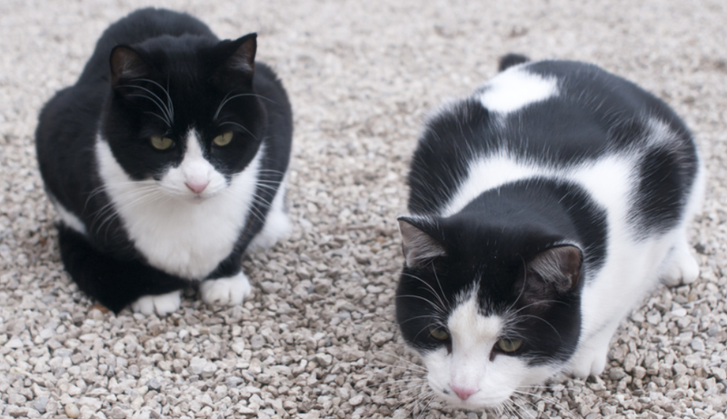 Illustration for article titled Who Is Dumping All These Tuxedo Cats at a California Animal Shelter?