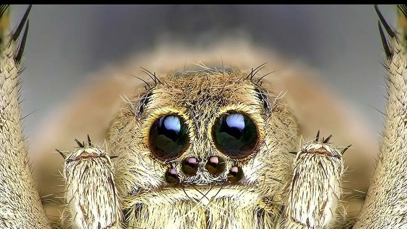 Illustration for article titled Male Spiders Eat Out Females In Order to Stay Alive