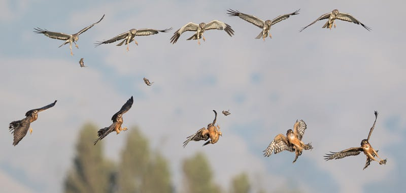 Illustration for article titled Incredible photo of hawks tossing food to each other in midair