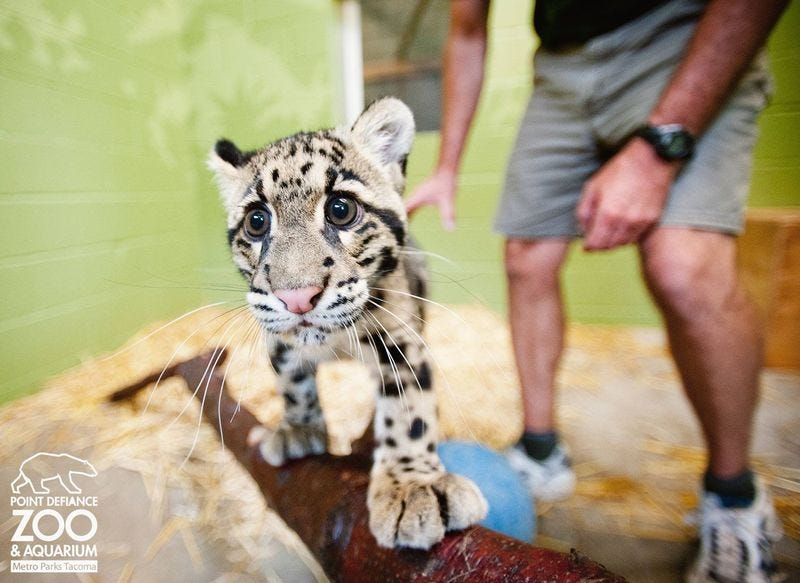 Illustration for article titled ZOMG THIS CLOUDED LEOPARD GETS CUTER AND CUTER *dies*