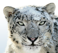 Illustration for article titled Confirmed: $29 Snow Leopard Installs Whether or Not You've Got Leopard