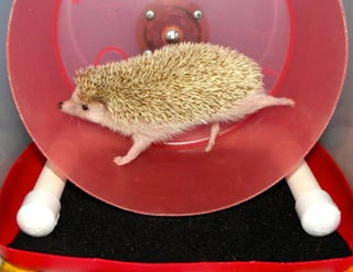 Illustration for article titled Hedgehogs Run A Marathon Every Night