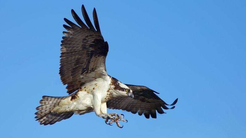 Illustration for article titled Bob Dole Picked Off By Large Hawk Circling Arena Parking Lot