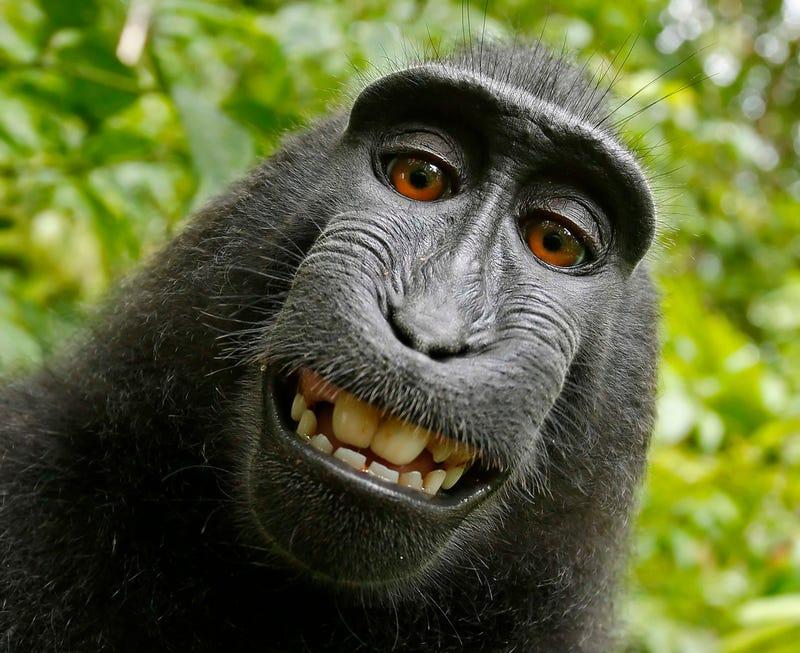 Illustration for article titled Monkey Loses Copyright Bid