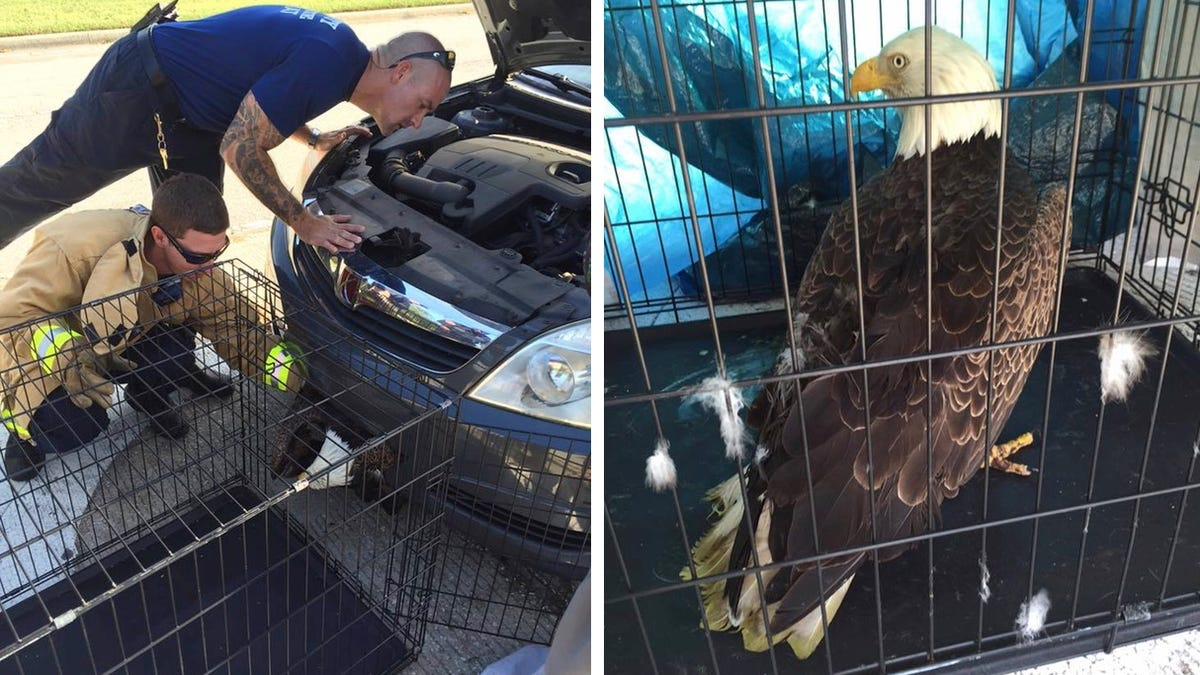 Bald eagle gets trapped in car becomes perfect symbol for america bald eagle gets trapped in car becomes perfect symbol for america in 2016 biocorpaavc Images