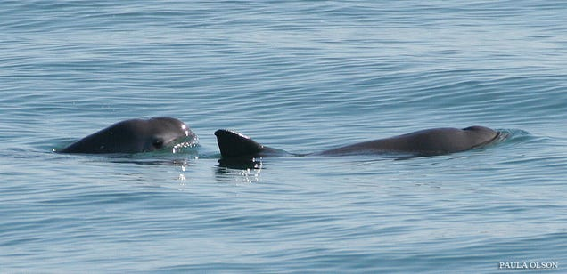 'Panda' Porpoise Could Be Extinct In Months