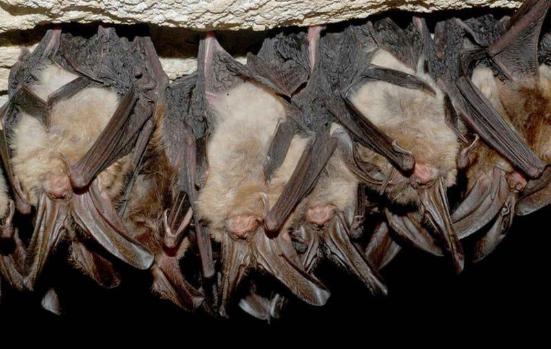 Illustration for article titled Por qué los murciélagos se cuelgan boca abajo