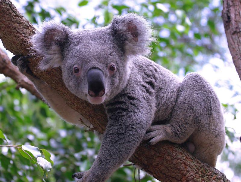 Illustration for article titled Delirious Koala Hasn't Slept For 72 Straight Minutes