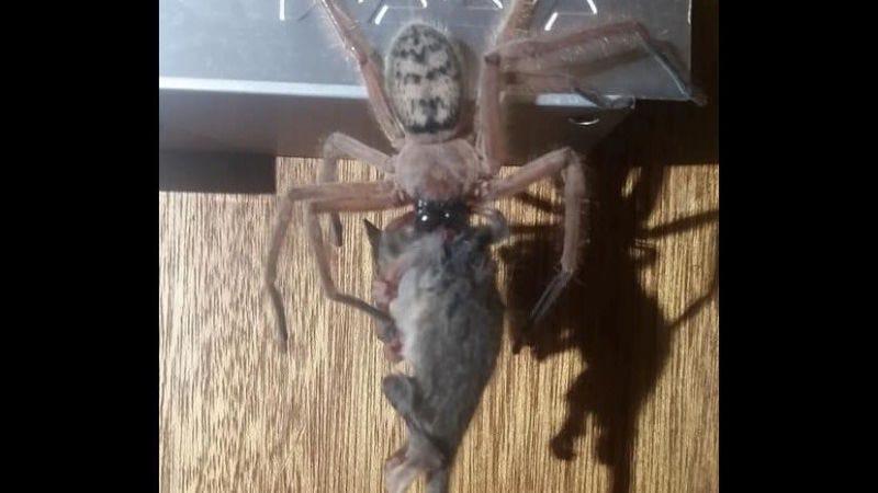 Turistas en Australia capturan el momento en que una araña gigante devora una zarigüeya pigmea