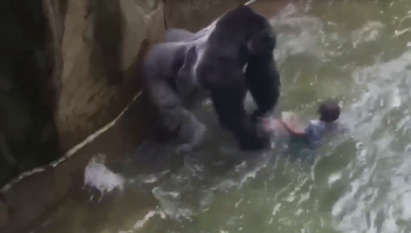 Video footage of the gorilla, Harambe, dragging a child who fell into the gorilla's enclosure.Screenshot via YouTube