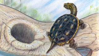 Illustration for article titled This turtle briefly ruled the world after the dinosaurs were wiped out
