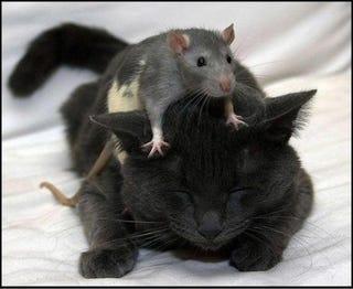 Illustration for article titled Rat Brain Simulator Calls IBM's Cat Brain Simulation Bogus