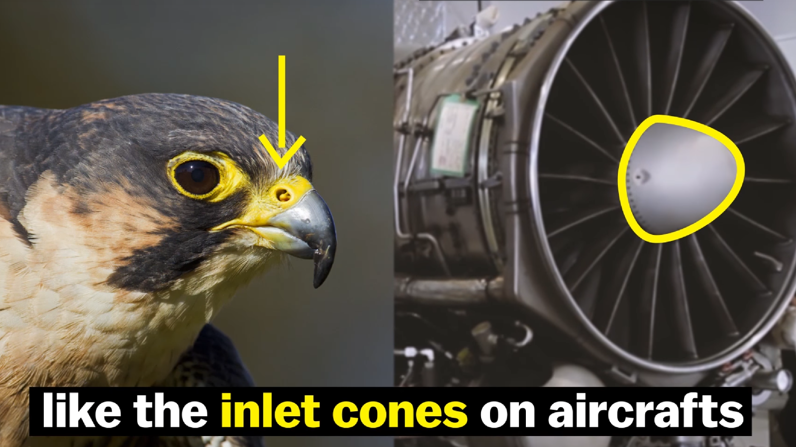 This Crazy Ass Bird Can Dive As Fast As A Dang Bugatti