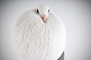 Illustration for article titled Pigeons