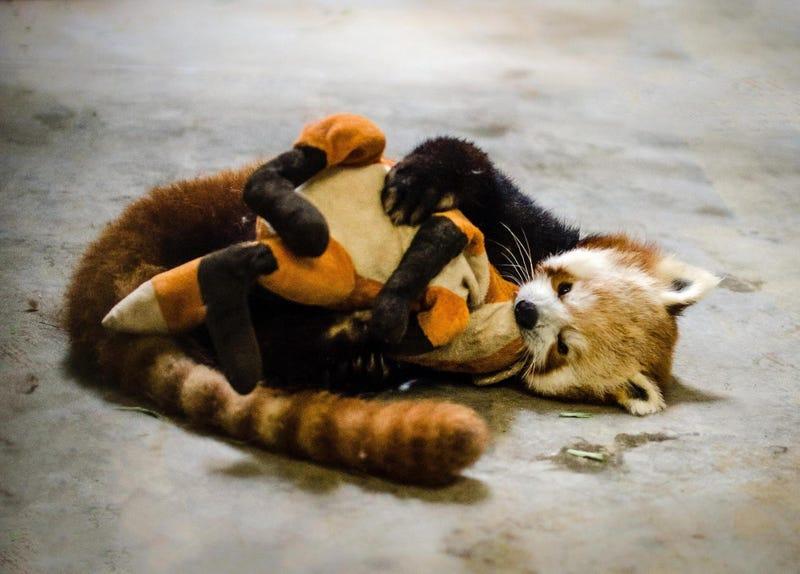 red panda just got - photo #32