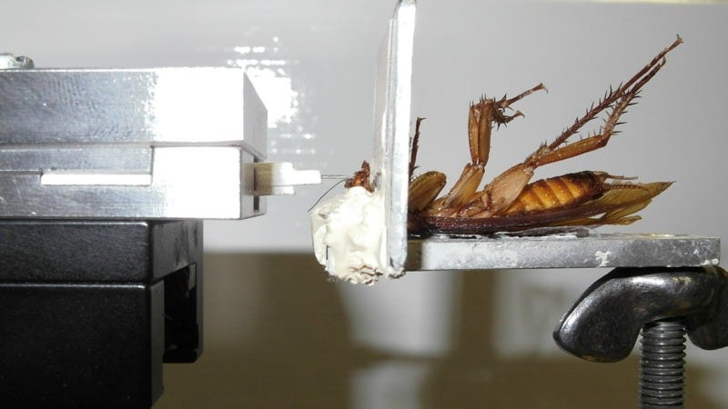 Illustration for article titled A Cockroach Can Bite Five Times Stronger Than a Human
