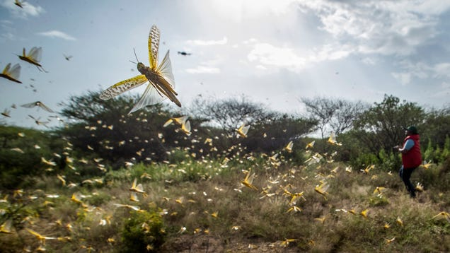 Sweet-Smelling Locust Pheromone Could Be Key to Stopping Their Swarms