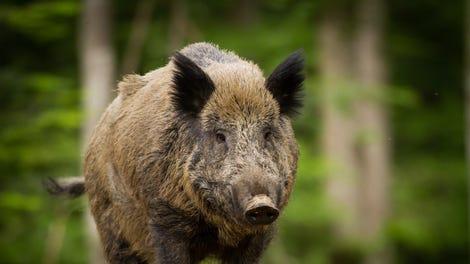 Fukushima Is Now Home To Radioactive Wild Boars