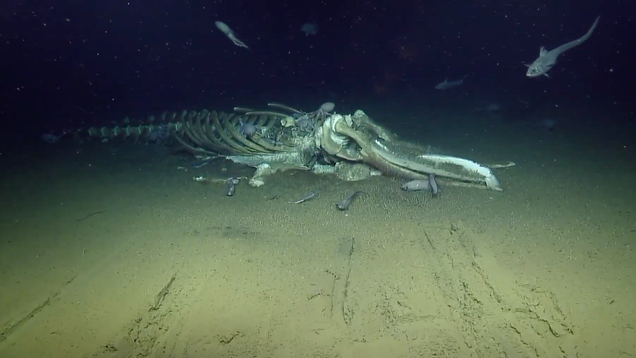 Creatures of the Deep Are Feeding on a Whale Carcass and You Can Watch It Live