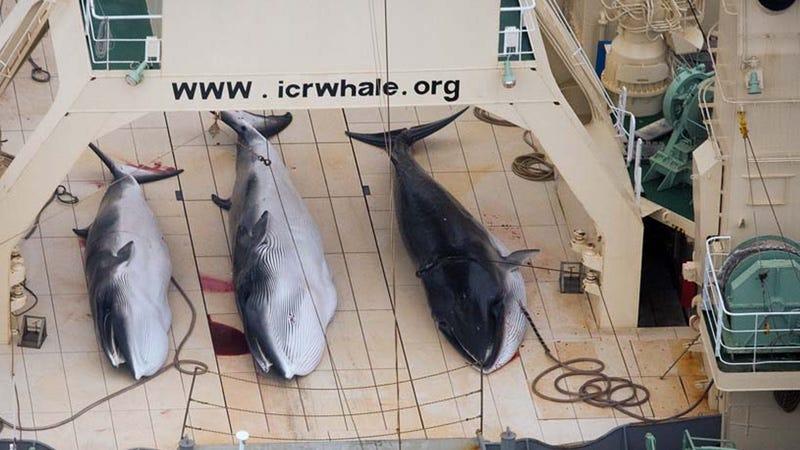 """Illustration for article titled Un resquicio legal permite a los japoneses cazar cientos de ballenas embarazadas """"por la ciencia"""""""