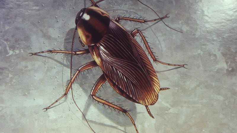 An illustration of the German cockroach, or Blatella germanica