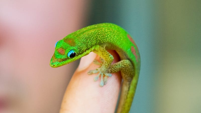 A gold dust day gecko in Kihei, Hawaii.