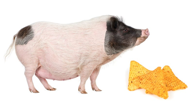 Illustration for article titled Police lure big-ass pig with Doritos