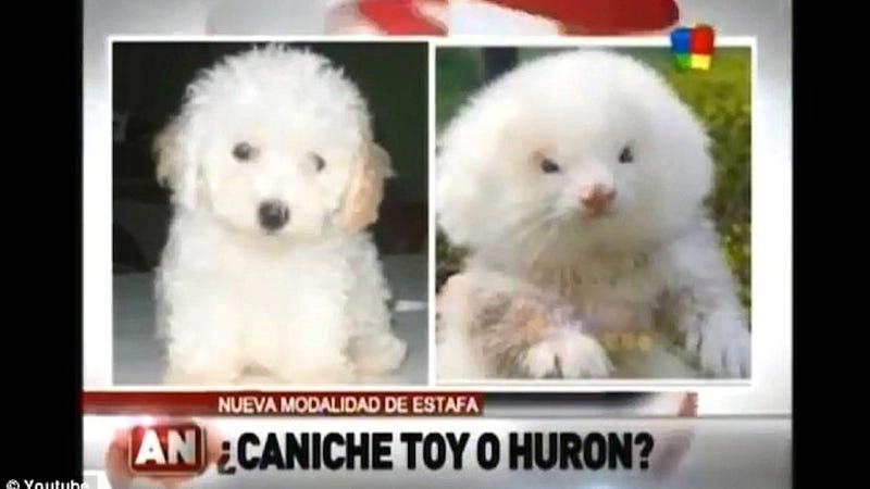ferret steroids puppy